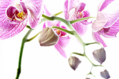 Orchid  isolated vibrant Stock Image