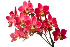 Orchid isolated on white Royalty Free Stock Photo
