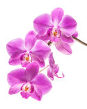 Orchid isolated on white Stock Photography