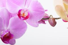 Orchid, isolated on white Stock Photography