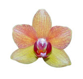 Orchid isolated on white Royalty Free Stock Image