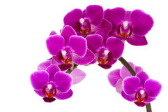 Orchid isolated on white background Stock Images