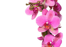 Orchid isolated on white background Stock Photos