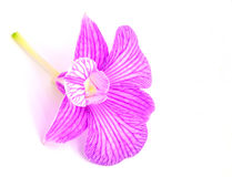 Orchid. Isolated with a white background Royalty Free Stock Photography