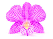 Orchid. Isolated with a white background Stock Photos
