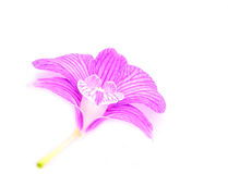 Orchid. Isolated with a white background Royalty Free Stock Photos