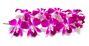 Orchid isolated on white Stock Image