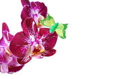 Orchid isolated on white background Royalty Free Stock Photo