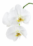 Orchid isolated on white background. Stock Photos