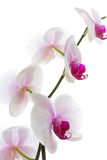 Orchid isolated white Royalty Free Stock Image
