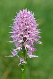 Orchid italic, orchis italica Stock Images