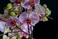 Orchid IV. An assemble of pink orchids in front of a monochrome black background Royalty Free Stock Photo