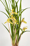 Orchid 'Jin He Ding' Stock Images