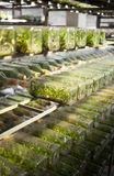 Orchid lab. Orchid tissue culture in a bottle many rows arranging Stock Images