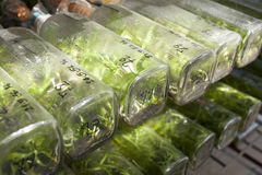 Orchid lab. Orchid tissue culture in a bottle many rows arranging Stock Photography