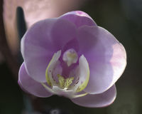 Orchid. Large Orchid, cultivated, from a garden Stock Photography