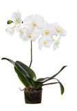 Orchid with large white blooms in pot Stock Photo