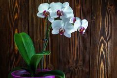 Orchid with large white flowers on the background of an old wooden wall. Orchid with large white flowers on the background of an wooden wall royalty free stock photos