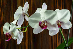 Orchid with large white flowers on the background of an old wooden wall. Orchid with large white flowers on the background of an wooden wall stock images