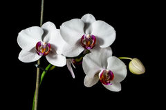 Orchid with large white flowers isolated on a black background. Orchid with large white flowers on a black background royalty free stock image