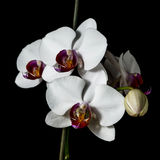 Orchid with large white flowers isolated on a black background. Orchid with large white flowers on a black background stock photography