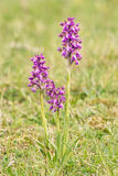 Orchid lesser, anacamptis morio Royalty Free Stock Image
