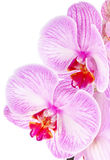 Orchid lilac Royalty Free Stock Image