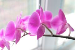 Orchid lilac royalty free stock images