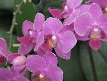 Bunch of lovely purple orchid. Long bunch of purple orchid with yellow and white dots royalty free stock photography