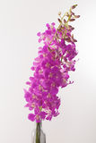 Orchid. Long stem purple pink Thai orchid in white background Stock Photography