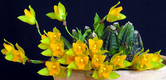 Orchid: Lycaste cochleata Stock Photo