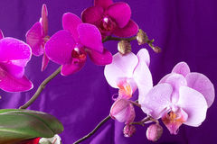 Orchid macro with water drops Royalty Free Stock Photos