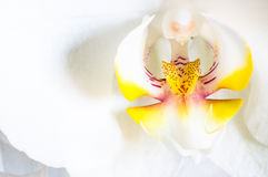 Orchid macro Royalty Free Stock Photos