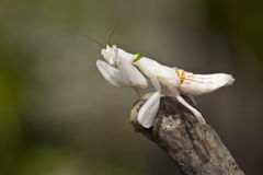 Orchid mantis. White Orchid mantis on dry stick Royalty Free Stock Images