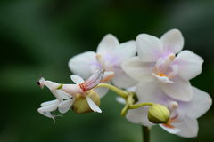Orchid Mantis aka Hymenopus coronatus. An orchid mantis hides in the flowering orchid blooms Stock Photos