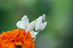 Orchid mantis are facing over the flowers. Orchid mantis are on the top of the flower Stock Photography