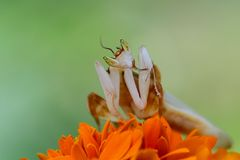 Orchid mantis are facing over the flowers. Orchid mantis are on the top of the flower Royalty Free Stock Images