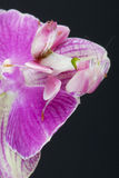 Orchid mantis / Hymenopus coronatus Stock Photos