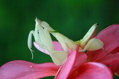 Beautiful mantis on flower, mantis. Orchid mantis on orange flower royalty free stock photos