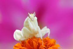 Orchid mantis are facing over the flowers. Orchid mantis are on the top of the flower Royalty Free Stock Photos