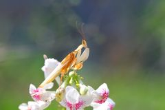 Orchid mantis are facing over the flowers. Orchid mantis are on the top of the flower Royalty Free Stock Image