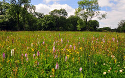 Orchid meadow, Castor Hanglands National Nature Reserve Stock Images