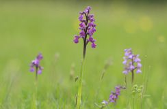 Orchid meadow Stock Image