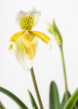 Orchid, mini lady-slipper Stock Photo