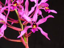 Orchid: Myr superbiens. Orchid specie, natural from Central America Stock Images