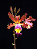Orchid:Myrmecophilia brissiana Royalty Free Stock Images