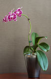 Orchid In Natural Light. An orchid with magenta on white colouring in the pedals, sitting on a table in a silver flower pot against a textured taupe background Royalty Free Stock Photo