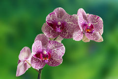 Orchid. Is on the nature background Stock Photo