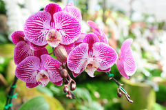 Orchid from North Thailand Royalty Free Stock Photography