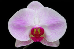 Orchid from North Thailand Stock Photos